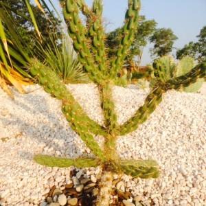 Cylindropuntia imbricata f. Potrillo Mountains