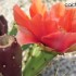 opuntia x flexospina fiore