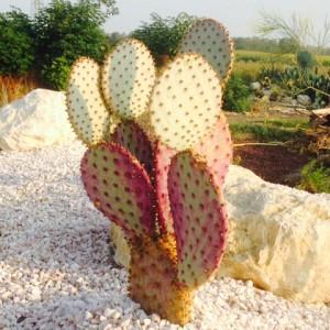 Opuntia chlorotica var. Santa Rita
