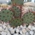 Opuntia phaeacantha var. major f. spine rosse2